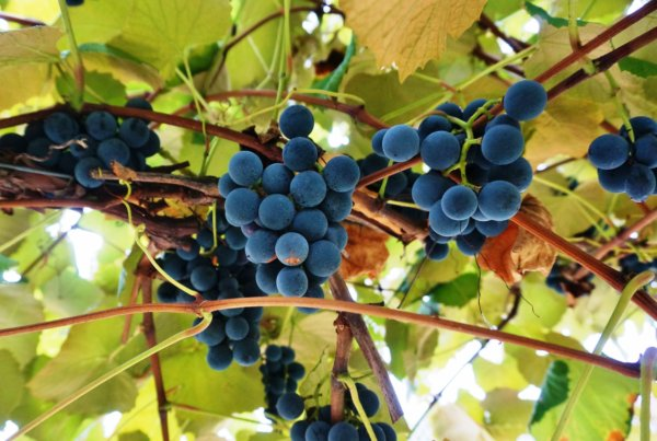 Concord Grape Essence (Kosher)