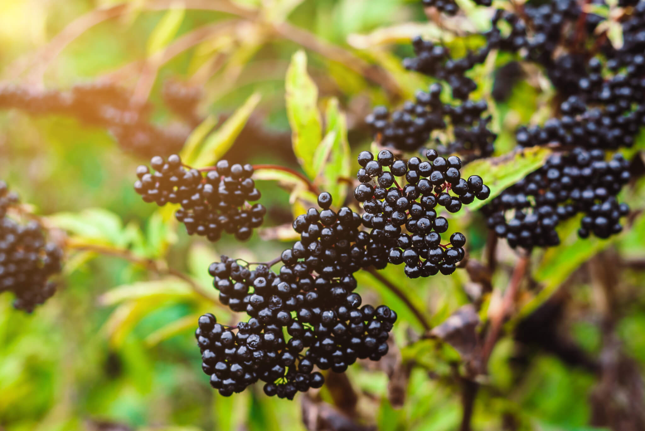 Elderberry Juice Concentrate