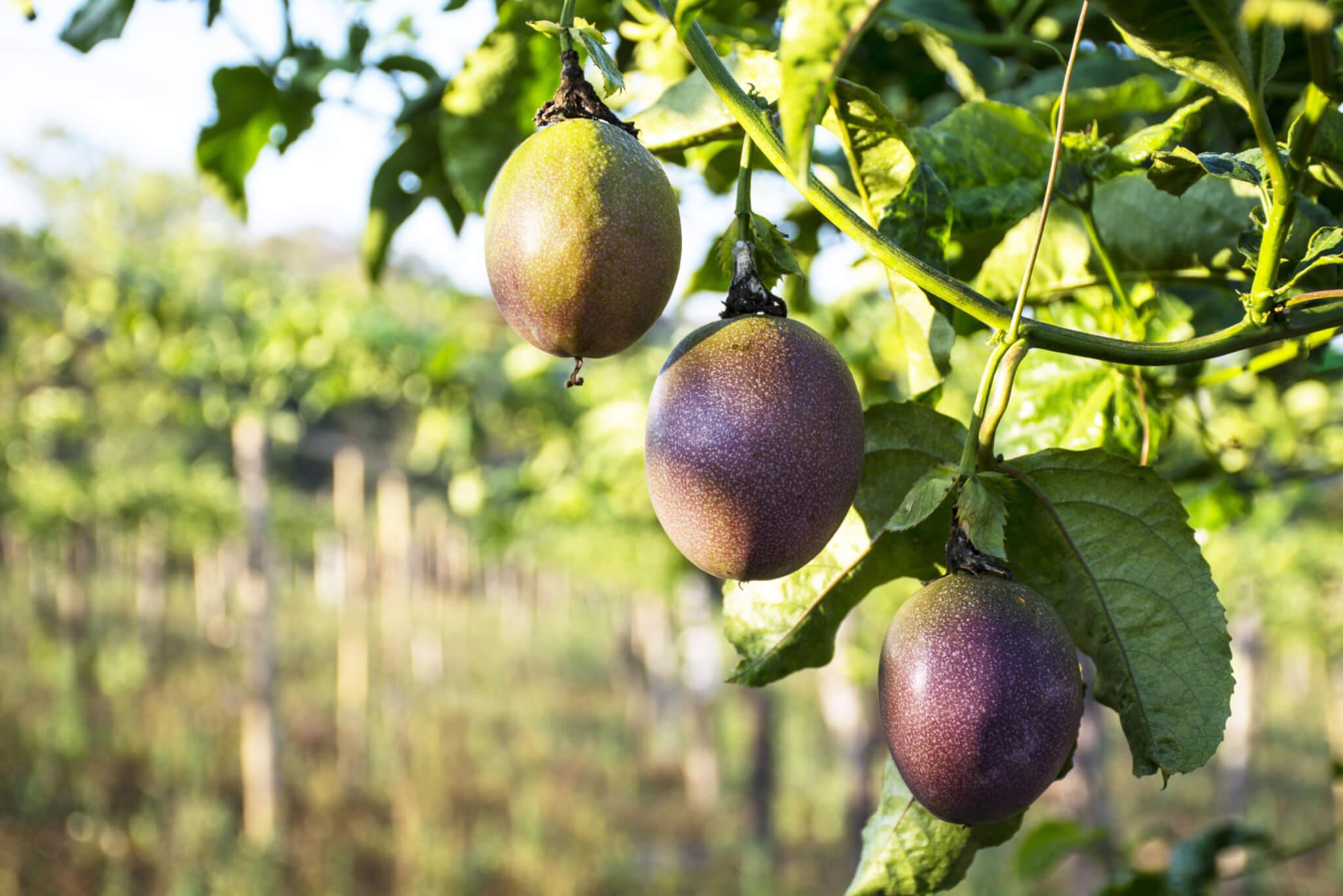Organic Passionfruit Juice (NFC)